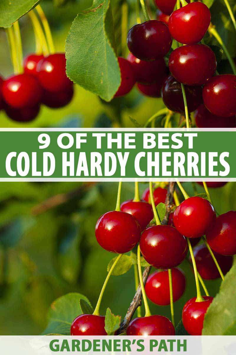 9 Of The Best Cold Hardy Cherry Trees Gardener S Path