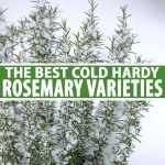 A close up vertical picture of a rosemary bush growing in the snow on a soft focus white background with white and green text in the center and to the bottom of the frame.