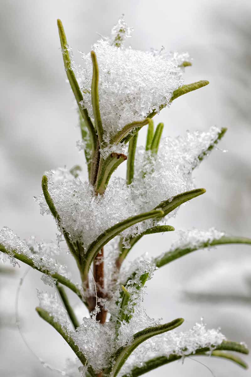 A close up of a sprig of the herb Salvia rosmarinus with frost covering its delicate leaves on a soft focus white background.
