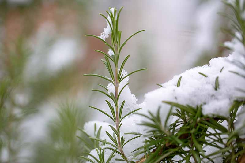 A close up of a rosemary sprig with frost on its delicate leaves, in the background is the frost-covered bush fading to soft focus.