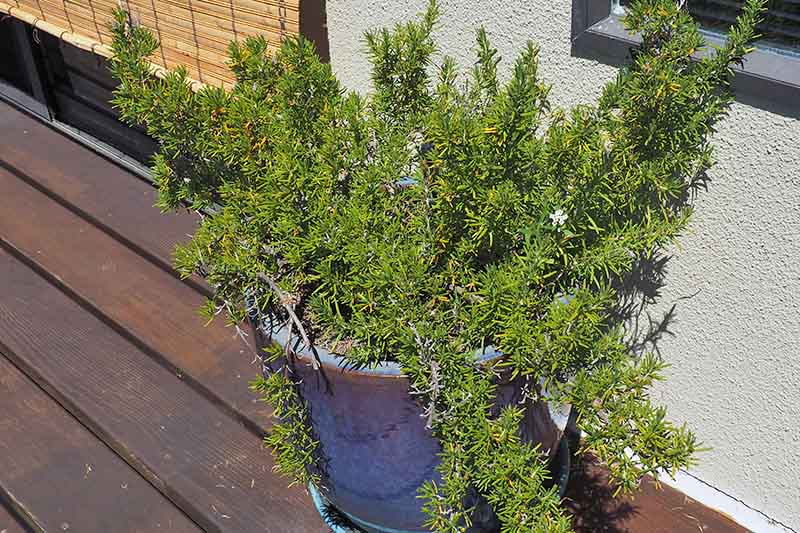 A large rosemary plant growing in a blue ceramic pot on a wooden deck with a white wall in the background, in bright sunshine.