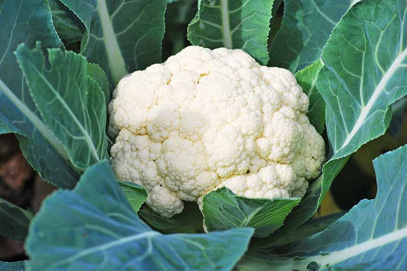 A close up of a creamy white mature cauliflower head nestled between dark green leaves with their white stems, ready for harvest.