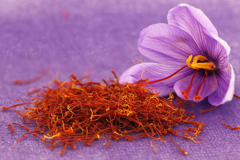 A close up of a purple crocus flower and a pile of saffron set on a purple background.
