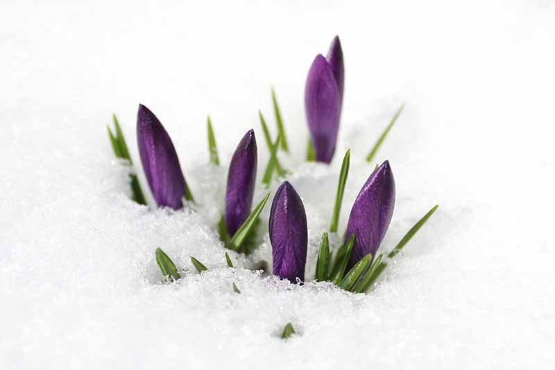 A close up of purple crocus buds with green foliage pushing through the snow fading to soft focus in the background.