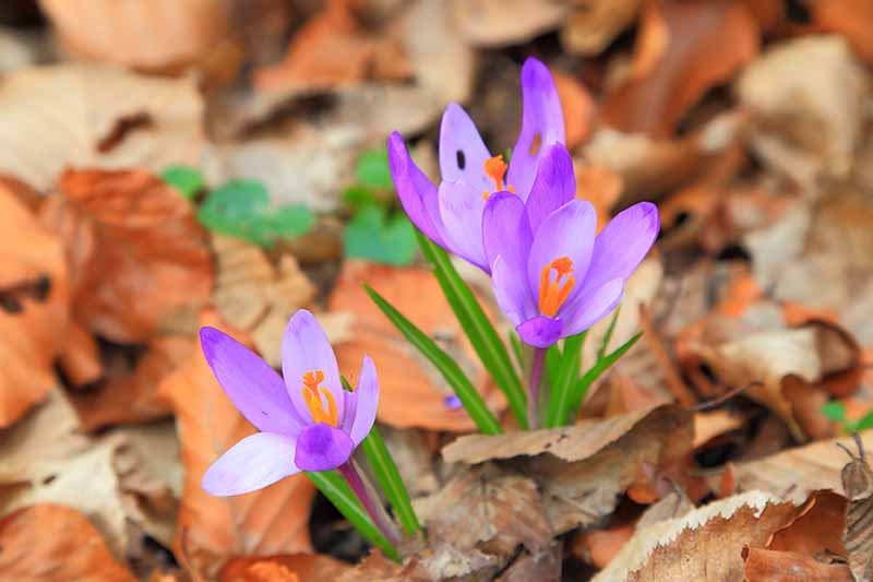 A close up of purple crocus flowers with orange centers growing in between autumn leaves on the ground fading to soft focus in the background.