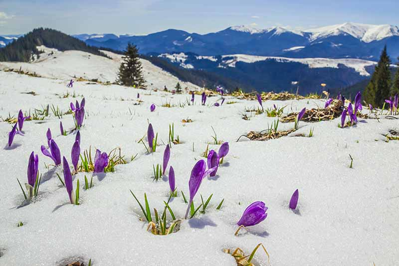 A mountain landscape with purple crocus flowers in the foreground pushing through the snow in bright sunshine with trees and mountains in soft focus in the distance.
