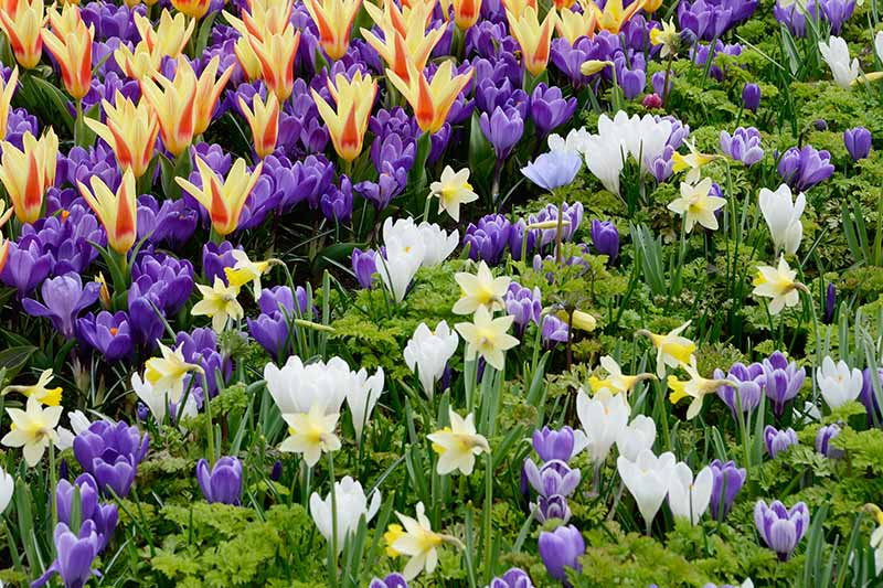 Purple and white crocus flowers in a mixed planting of daffodils and tulips with green foliage in between the showy blooms in light sunshine.