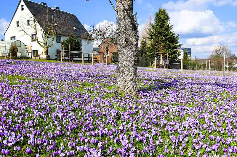 A house to the left of the frame with a lawn covered in bright purple crocus flowers in the springtime, a tree in the centre of the frame with a protective mesh around the trunk with blue sky in the background on a sunny day.