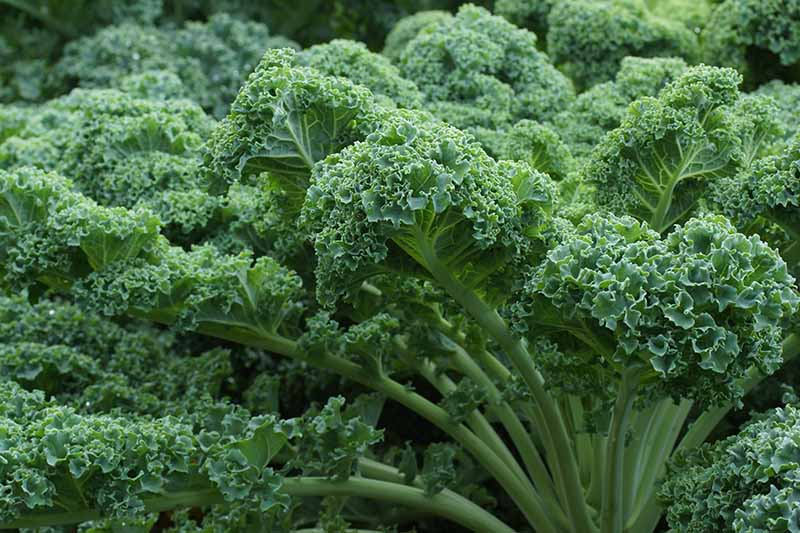 A close up of a large curly kale plant growing in the garden with frilly dark green leaves and light green stems and veins on a soft focus background.