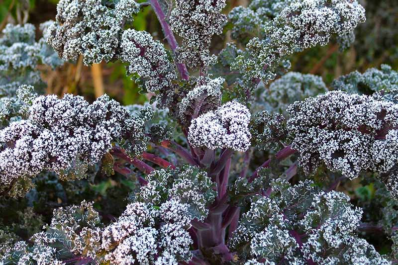 A close up of a purple curly kale plant growing in the garden covered in a light dusting of frost in gentle sunshine on a soft focus background.