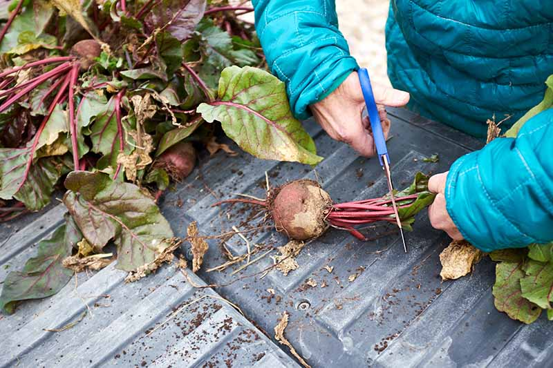 Two hands from the right of the frame cutting the tops off freshly harvested beet roots with scissors. In the background is the rest of the harvest.