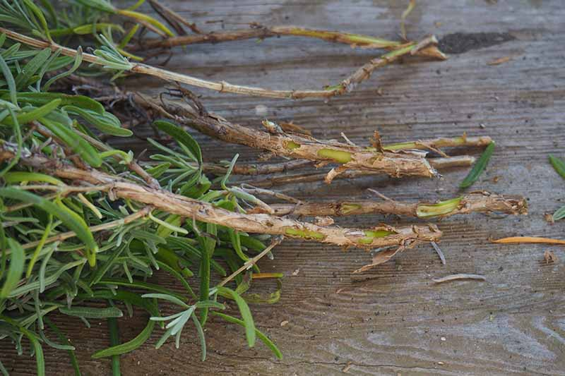 A close up of cuttings taken from a lavender plant, on a rustic wooden background.