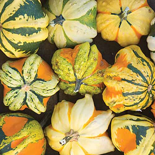 A close up of various different colored 'Daisy' gourds. They are small, almost star-shaped with different color combinations.