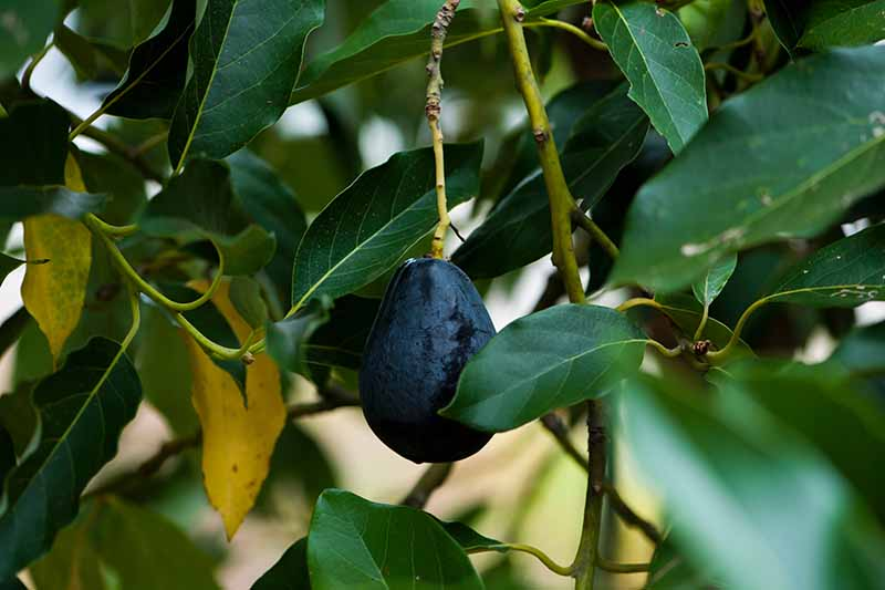 A close up of a dark, almost-black avocado fruit hanging from a branch surrounded by green leaves on a soft focus background.