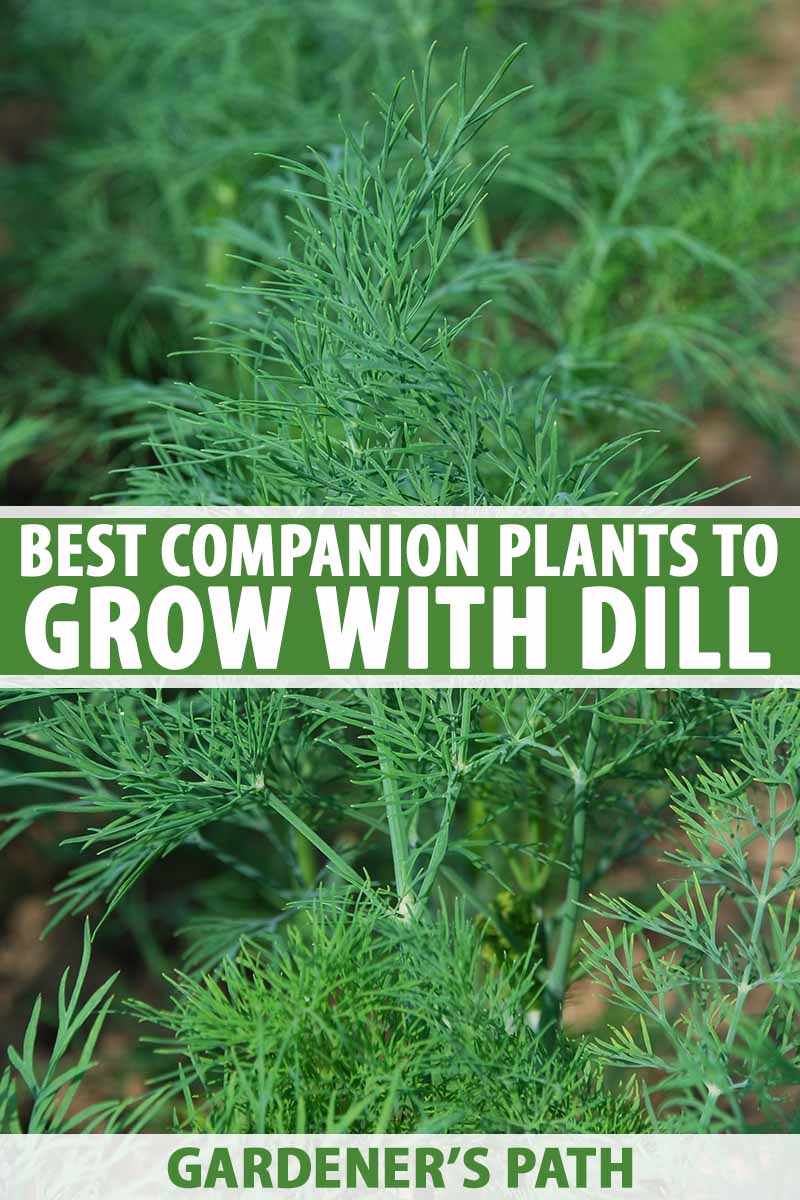 A close up of a dill plant with its thin bright green leaves on a soft focus background. To the center and bottom of the frame is green and white text.