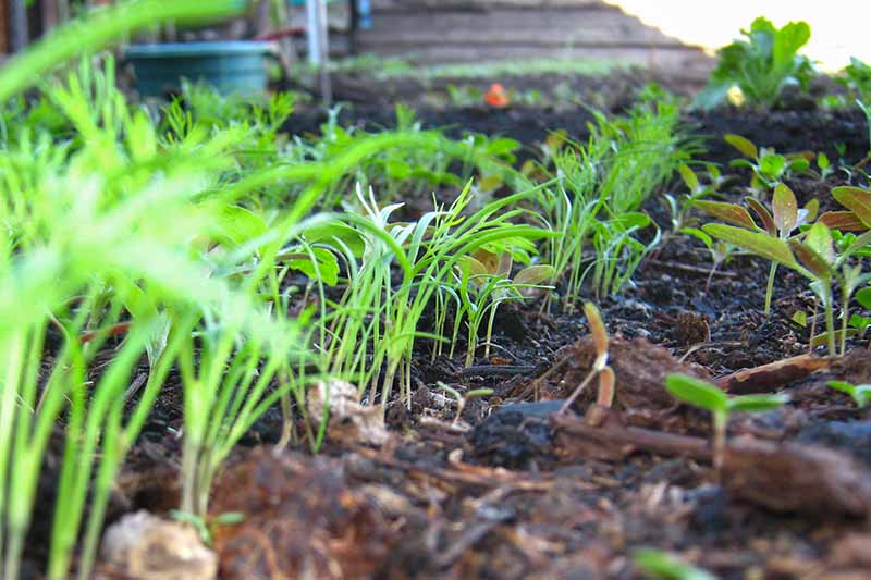 A close up ground level view of seedlings growing in a garden bed with dark mulched soil in between the small plants, fading to soft focus in the background.