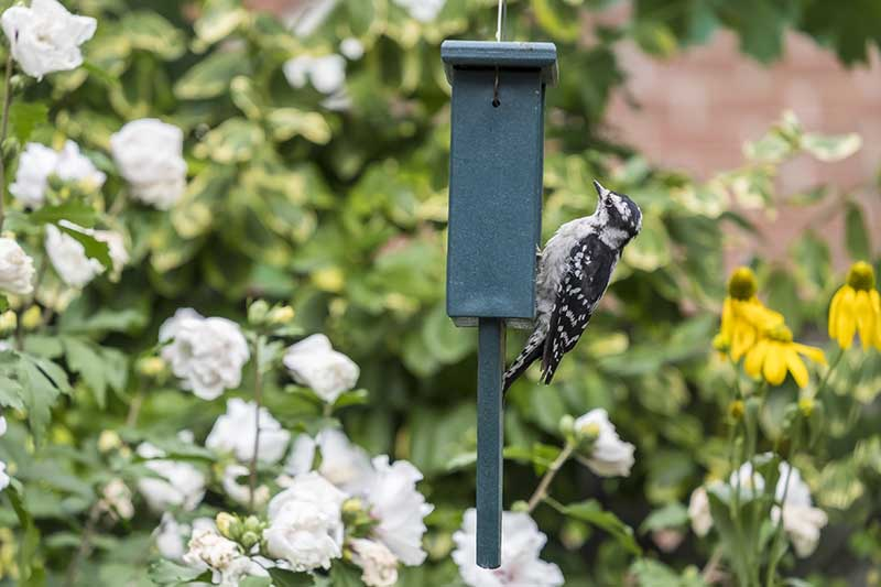 A small black and white downy woodpecker perched on a green metal hanging feeder on a soft focus background.