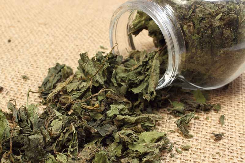 A close up of a glass jar containing dried stinging nettle leaves with some spilling out onto a hessian surface.
