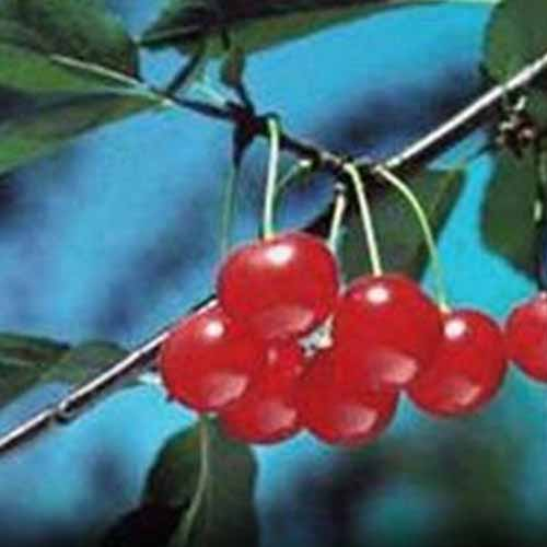 A close up of ripe red 'Early Richmond' cherries hanging from the branch with foliage around them set against a blue soft focus background.