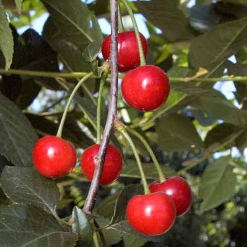 A close up of ripe red 'English Morello' fruit hanging from the branch surrounded by green foliage on a soft focus background.