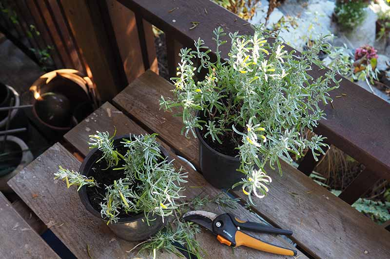 A top down picture of two black plastic pots on a rustic wooden surface with lavender cuttings planted in both. Beside the pots is a pair of garden shears and some plant cuttings.