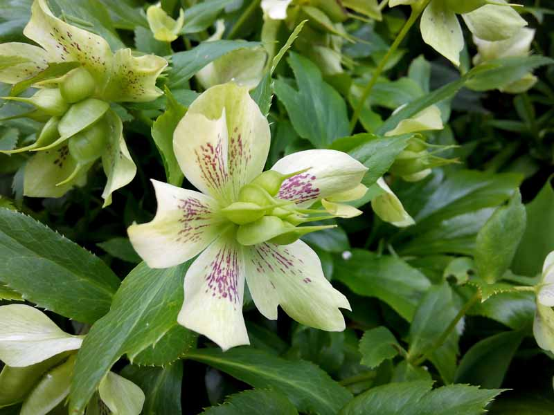 A close up of a hellebore flower growing in the garden with light green sepals dotted with purple flecks. In the center of the flower are light green developing seed pods on a soft focus background.