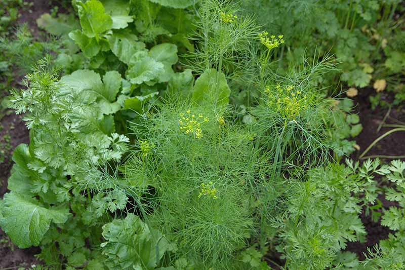 A close up of a Anethum graveolens plant with small yellow flowers surrounded by other herb and vegetable companion plants, fading to soft focus in the background.