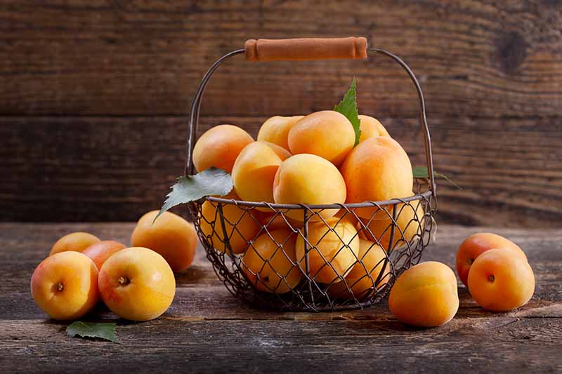 A wire basket full of fresh apricots with a few to each of it, set on a dark wooden surface.