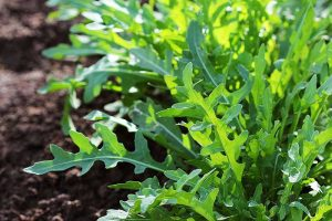 How and When to Harvest Arugula