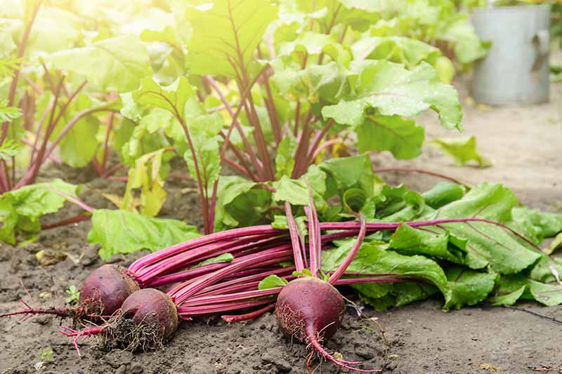 Freshly harvested beet roots and greens laying on the soil with plants in the background fading to soft focus in light sunshine.