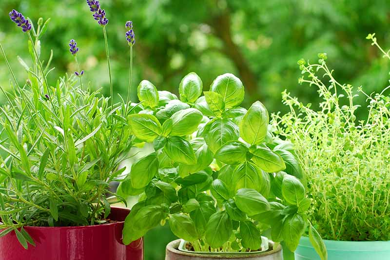 A variety of fresh herbs growing in pots on a windowsill in bright sunshine with a soft focus background.