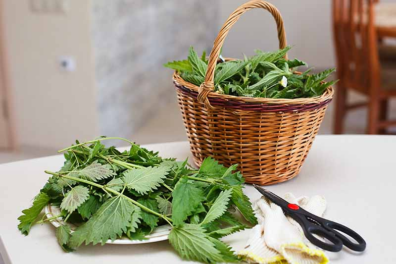 A white table with a basket containing freshly harvested Urtica dioica leaves, with a selection of them on a small white plate to the side and a pair of gardening gloves and scissors to the right of the frame on a soft focus background.