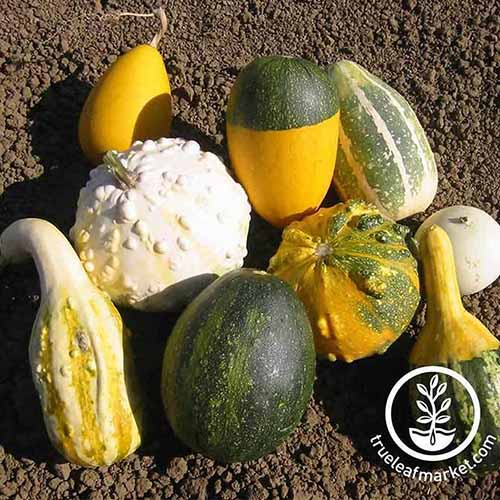 A close up of a variety of different ornamental gourds in various sizes, shapes, and textures, on a soil background. To the bottom right of the frame is a white circular logo and text.