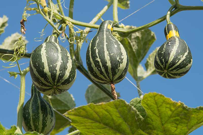 A close up picture of dark and light green striped decorative squash hanging from the vine, surrounded by large green leaves with blue sky in the background.
