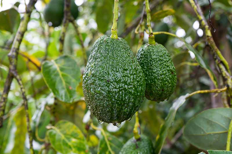 A close up of two dark green Persea americana fruits with water droplets on them. In the background is leaves and branches of the tree fading to soft focus.