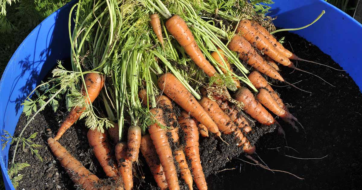 How To Grow Carrots In Containers Gardener S Path