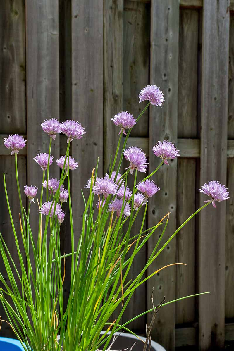 How To Grow Chives In Containers Gardener S Path
