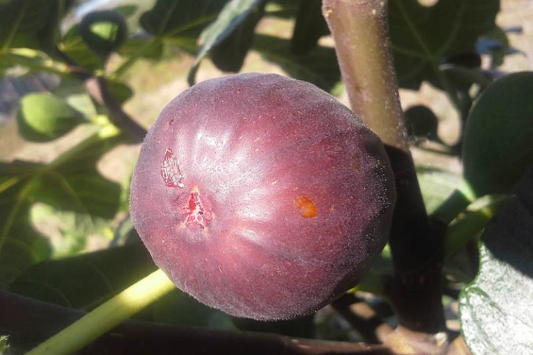 A close up of a ripe 'Hardy Chicago' fig fruit, pictured on a stem in bright sunlight with a soft focus background.