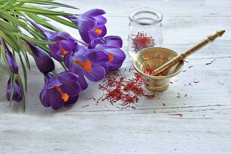 A close up of purple crocus flowers on a white wooden surface with a small jar of saffron and a brass pestle and mortar.