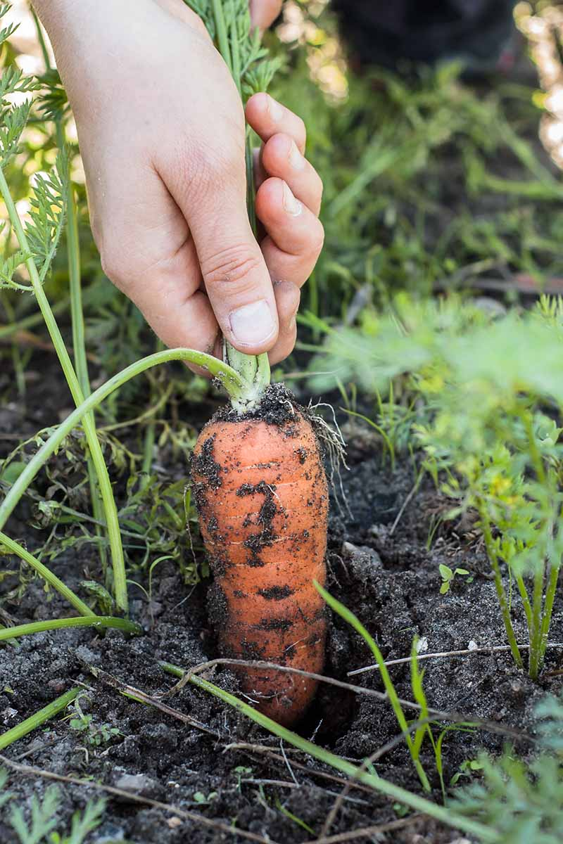 A vertical image of a hand from the top of the frame pulling a carrot out of rich dark soil by the green tops. The orange root contrasts with the soft focus green background.