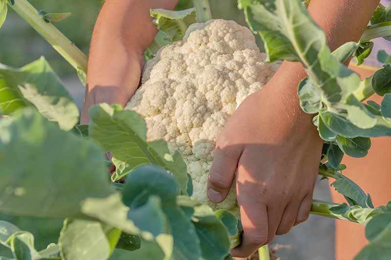 Two hands from the top of the frame grasp a cauliflower head to harvest it from the plant. Large light green leaves are still attached.