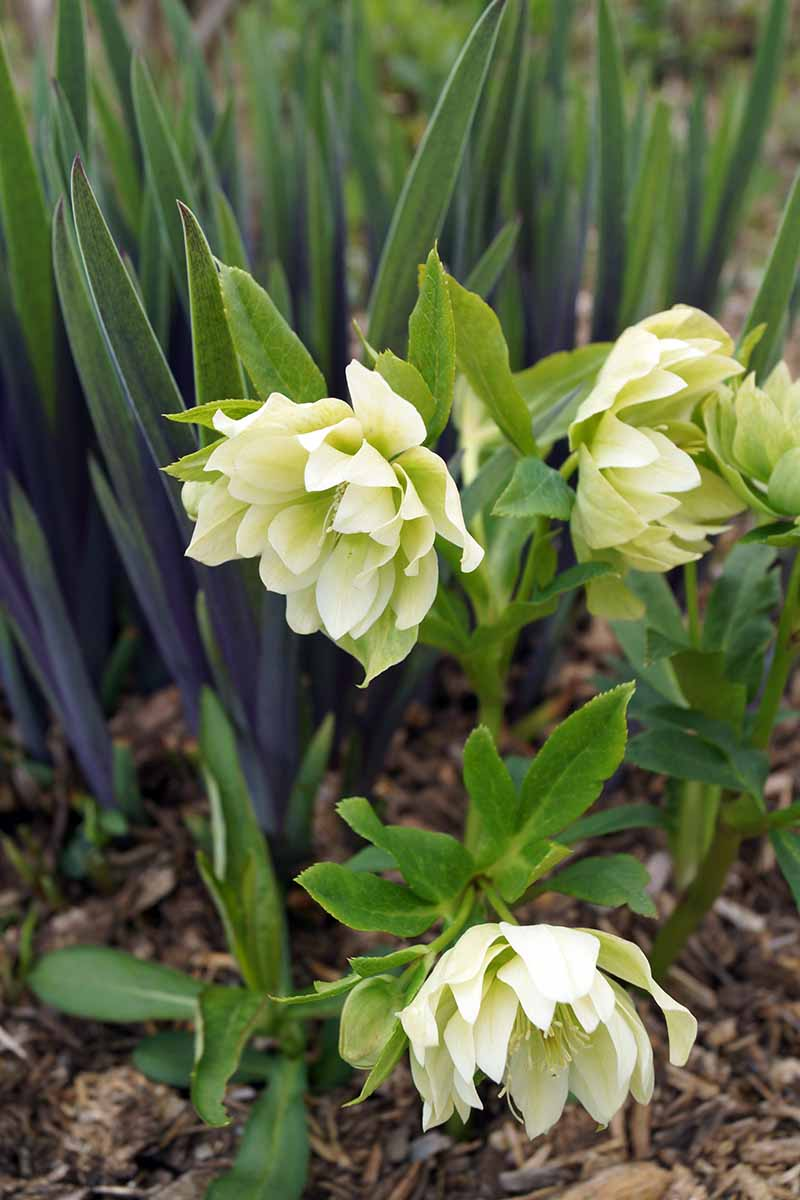 A vertical close up of very light green hellebore flowers in the garden, their showy sepals contrasting with the bright green foliage.