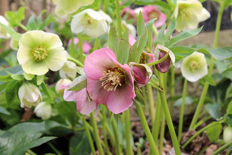 A close up of light green hellebore flowers growing amongst purple ones on a soft focus background.