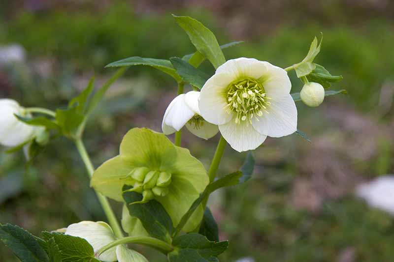 A close up of white hellebore flowers at varying stages of seed pod development on a green soft focus background.