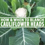 A close up vertical image of a cauliflower plant with a small white head developing between large green leaves. The leaves are large with white veins and stems. To the center and bottom of the frame is green and white text.
