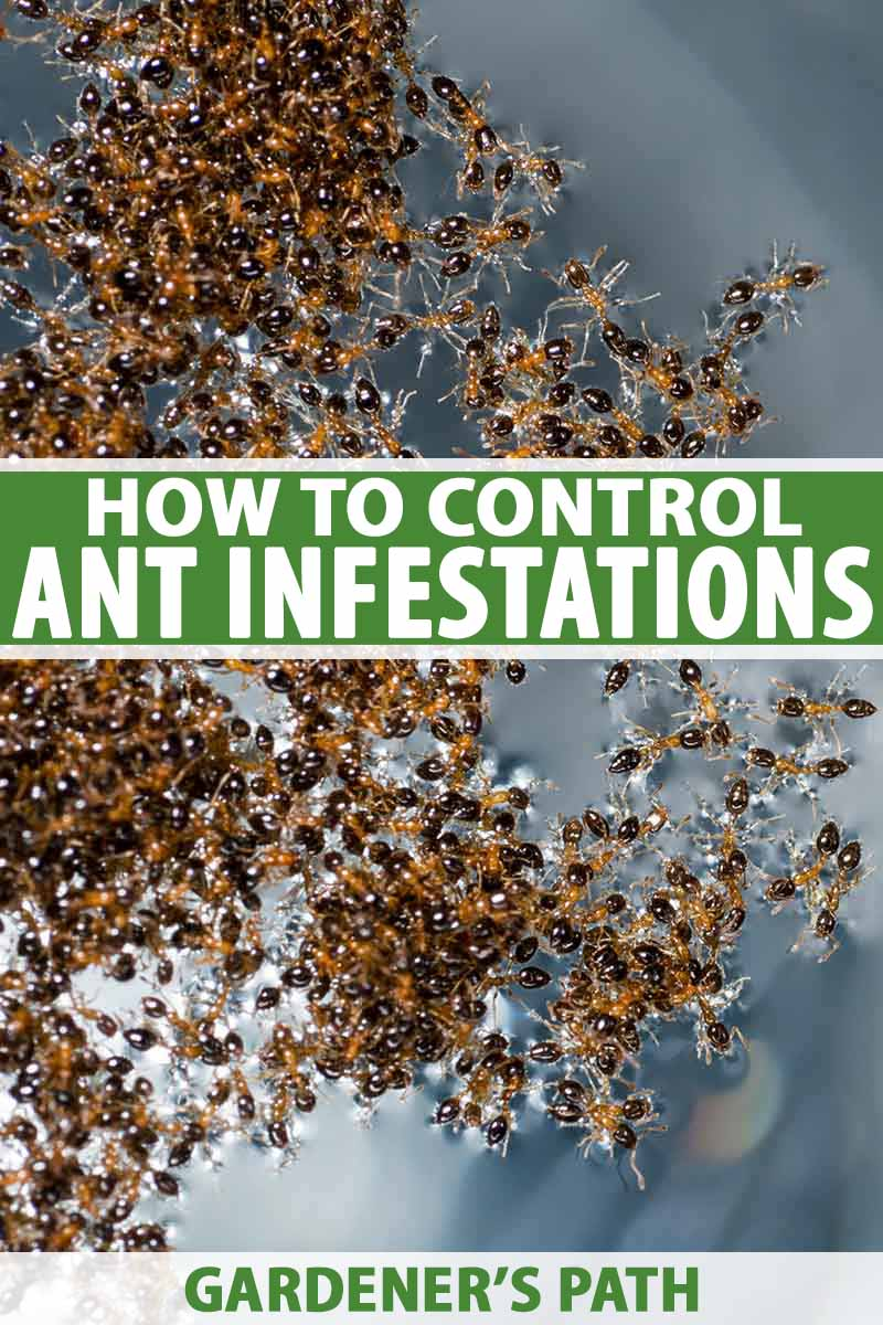 How To Control Ants In And Around Your Home Gardener S Path
