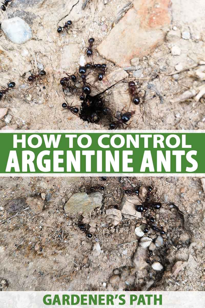 A vertical picture of Argentine ants around a small hole in a rocky surface. To the center and bottom of the frame is green and white text.