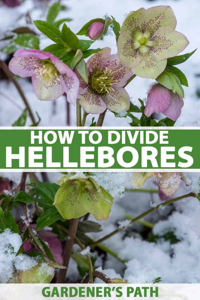 A vertical picture of flowering hellebores in the snow. The green and purple flowers are speckled with bright green foliage. To the middle and bottom of the frame is green and white text.