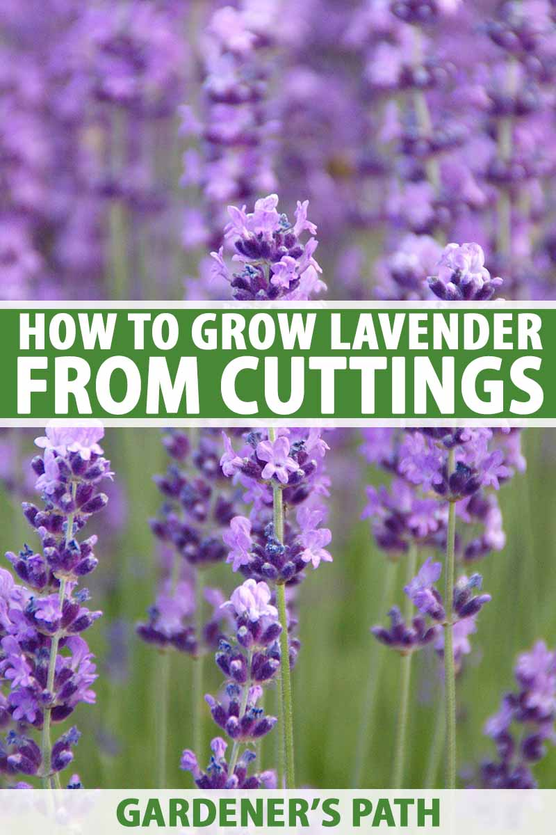 How To Grow Lavender From Cuttings Gardener S Path