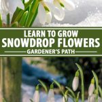 A collage of photos showing different views of Galanthus or snowdrop flowers growing in the snow.